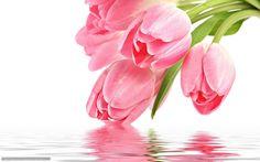 descarca imagini de fundal flori, roz, lalea, lalele roz Imagini de fundal gratuite pentru rezoluia desktop 1680x1050 — imagine №374651