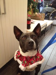 Miss Duffy is a darling Cattle dog/terrier mix with a mad desire to play and cuddle :) She is very... pinned with Pinvolve