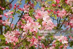Image result for malus prunifolia