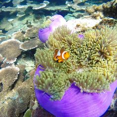 This little guy was my muse for the Sinhalese/Sri Lanka page 😊although I took this pic in Malaysia hehe 😁 🐠🐟🐳🐬 #lovefish #clownfish #coral #wonderfulworld #coloringbook #coloring #clarayang #art #artist #colouringbook #photography #gopro #underwater #ocean #water #scubadive #snorkel #beautiful #cute #vacation #travel #fish #lovein30languages #swim #freediving #instagood #instadaily #photooftheday #picoftheday #love