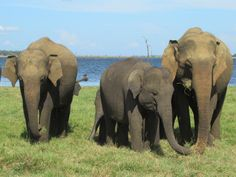 Kaudulla National Park in central Sri Lanka is a good place to see elephant families in their natural habitat. The herds occasionally migrate to nearby Minneriya and Wasgamuwa national parks. Elephant Family, Sri Lanka, Habitats, Places To See, Families, National Parks, Natural, Animals, Animaux