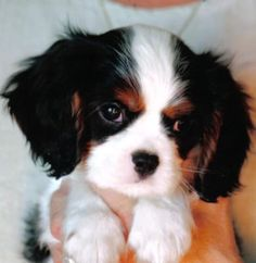 Cute little Cavalier King Charles Spaniel puppy. Click on the pic for more #aww