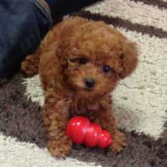 Toy poodle puppy ... Dog Training Video Portal http://dogtrainingvideosonline.info/