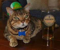 This cat who got his beer ready a little too early… | 15 Cats Who Can't Wait For St. Patrick's Day
