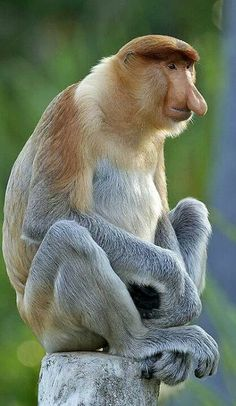 ASIA - Proboscis monkey (Nasalis larvatus) or long-nosed monkey, known as the bekantan in Malay, is a reddish-brown arboreal Old World monkey that is endemic to the south-east Asian island of Borneo, this species co-exists with the Bornean Orang-utan. This species of monkey is easily identifiable because of its unusually large nose.