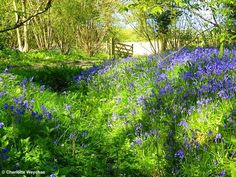 The Galloping Gardener: Bluebell bonanza at Hole Park in Kent - catch them while you can!