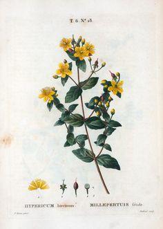 Hipericum hircinum = Millepertuis fétide. [Stinking tutsan]