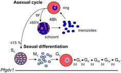 gametocyte plasmodium falciparum - Google Search