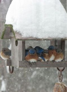 - snow birds in the winter garden-: Snow Birds, Winter, Eastern Bluebirds, Blue Birds, Beautiful Bluebirds, Birdhouses Nests Feeders, Animal