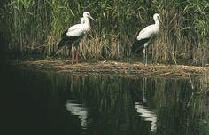 Störche bei Illmitz Austria, Animals, Grey Goose, Types Of Animals, Animales, Pictures, Animaux, Animal, Animais