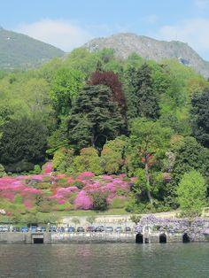 Azaleas in Bloom - Bellagio, Lake Como, Italy