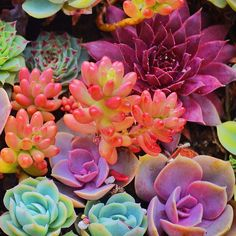 Herptiles and Other Things // osita-mimi: Succulents colores neón