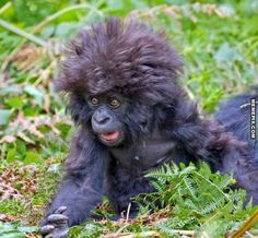 Baby gorilla bedhead(my Betty,if she was a gorilla.they have the same hair)