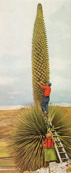 Bromeliad flower spike. National Geographic, Bolivia, February 1966.