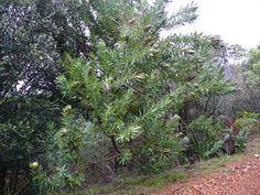 Protea lepidocarpodendron - Google Search