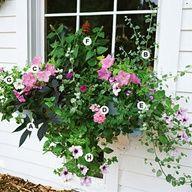 Full sun window box or container garden. A. Sweet potato vine (Ipomoea batatas Blackie) -- 1 B. Licorice plant (Helichrysum petiolare) -- 1 C. Petunia Carpet Lilac -- 2 D. Verbena Aztec Pink Magic -- 1 E. Wishbone flower (Torenia Summer Wave Blue) -- 1 F. Salvia Lady in Red -- 1 G. Petunia Ramblin White -- 1 H. Petunia Pink Daddy -- 1