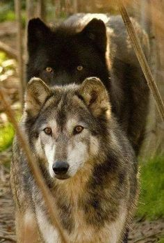 Black wolf: Is that a spider? Grey wolf: wait what? Black wolf: Kill him! I have aracnophobia! grey wolf: Oh shut up! And to think you're the Alpha of our pack.