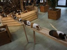 Not sure why I think this is so cute!!!   Every day these super cute guinea pigs commute on this tiny wooden boardwalk. Every day.
