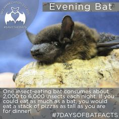 Conserving the world's bats and their ecosystems to ensure a healthy planet Bat Conservation International, All About Bats, Bat Facts, Bat Flying, Cute Bat, Creatures Of The Night, Animal Quotes, Animal Photography, Animal Kingdom