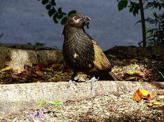'Pheasant Coucal' by danikatz Reasons To Smile, Pheasant, Wild Birds, Gold Coast, Over The Years, Wildlife, Queensland Australia, Places, Xmas