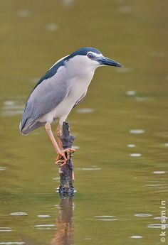 Black-Crowned Night Heron (Nycticorax nycticorax) found everywhere in temperate regions