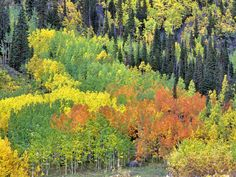 Red Yellow and Green Colored Aspen Trees in One Grove San Juan Mountains Colorado by Dennis Frates  http://ift.tt/1Xi1NhT  #standard #forests #photographers #dennisfrates #autumn #aspens #wood #woodland #woodlands #forests #plant #plants #seasons #sanjuanmountains #grove #groves #deciduous #warmth #fertile #dense #downwardview #like4like #picoftheday #photooftheday #canvasprints #rolledcanvas #gallerywrapped #prints #follow #like4follow