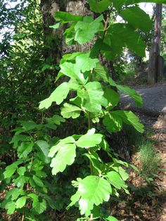 Poison Oak Leaves how to id