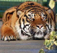 crouching tiger | Flickr - Photo Sharing!