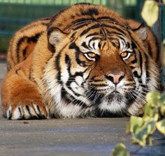 crouching tiger | Flickr - Photo Sharing!
