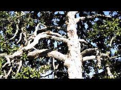 Roma, La Magnolia secolare di Largo Cristina di Svezia (manortiz)