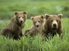 Grizzlies Coming Home   Howling For Justice