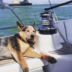 Brody asleep at the winch :) book a private yacht or sailboat charter and come sailing in San Francisco Bay SF #photographer #photooftheday #picoftheday #sfo #tourism #tiburon #tiburon #tours #pier39 #crissyfield #sailsfbay #sfgiants #sfsailingscenes #sfo #sf #captainsanfrancisco #cruising #cruisesandevents #charteryacht #cruising #liveaboard #yacht #yachtlife #love #lamar #laugh #landscape #alcatraz #sausalito
