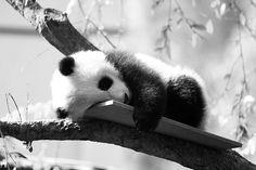 Awwww baby panda