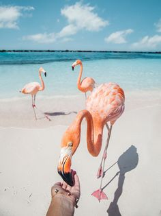 You can't just rock up to any beach in Aruba and expect to find wild flamingos roaming around. Aruba Flamingos, Flamingo Beach Aruba, Pink Flamingos, Flamingo Decor, Animals And Pets, Funny Animals, Cute Animals, Wild Animals, Baby Animals