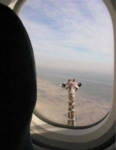 Girafe. Je sais, c'est bête, mais j'arrive plus à arrêter de rire.....