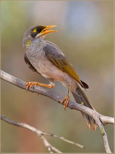 the yellow-throated miner - manor flavigula, is  a species of honeyeater, native to australia .