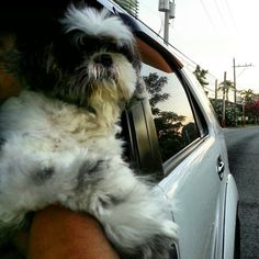 Pepper!  #shihtzu#dog#philippines#drive#car#シーズー#犬#フィリピン
