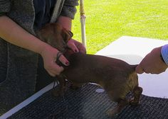 Teckelzuchtschau Teckelclub Kenzingen 21. Mai 2017 Boston Terrier, Dogs, Animals, Boston Terriers, Animales, Animaux, Pet Dogs, Doggies, Animal