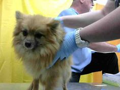 RAEGAN - ID#A616151 (earliest available date is 2/16 - any investigation could delay date) **RESCUE ONLY**  I am a female, red Pomeranian.  The shelter staff think I am about 2 years old.... See More — with Peggy Premas at Devore Shelter at 19777 Shelter Way, Devore, CA 92407 in San Bernardino County, CA 92407: (909) 386-9820, ext 0.