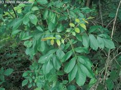 magyar kőris Plant Leaves, Herbs, Plants, Herb, Plant, Planets, Medicinal Plants
