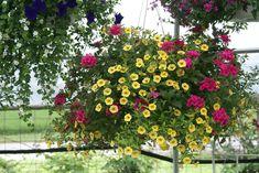Hanging basket ideas! #smithscountrygardens #hangingbaskets #flowers #gardens Purple Sky, White Eyes, Pink Summer, Hanging Baskets, Garden Planning, Will Smith, Perennials, Gardens, Flowers