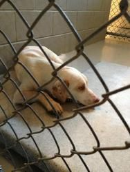 """URGENT!!! Poor """"CATE"""" is so sad...can someone please help this sweet girl??? NASHVILLE, NC>>>Cate - CRITICAL! is an adoptable Hound Dog in Nashville, NC. ~ URGENT ~ This pet is at what is considered a high killShelter. The Shelter is estremely small and the pets have very little time. Plea..."""