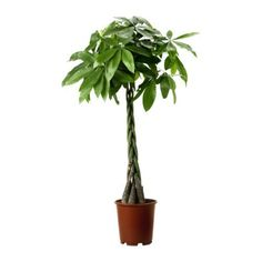 Potted plant, Guinea chestnut