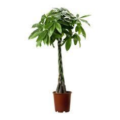PACHIRA AQUATICA 鉢植え, パキラ