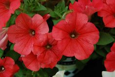 """Petunia Perfectunia™ Coral ---Warm coral-pink flowers with an outstanding mounded form.    Super for full to part sun. Gorgeous in mixed containers.    Nice with burgundy foliage and purple and yellow flowers. Plant Details: Type:  Annual   Height:Up to  9"""" Spread:Up to  12"""" Color: Coral"""