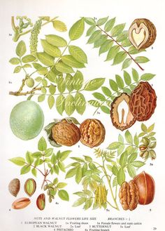 Vintage Botanical Print Antique WALNUT pecan pistachio nut 29, plant print botanical print, bookplate art print, nuts food plants plant wall...