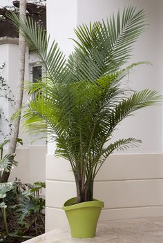 A native of Madagascar, Majesty palms are easy-care indoor palms that can grow 10 to 12 feet tall. They make a BIG impression in a room. Majesty palms like bright, indirect light. Use these inexpensive palms everywhere—indoors and out. Their fantastic fronds of foliage add life to living rooms, bedrooms, and patios (in warm weather). Botanic name:  Ravenea rivularis Care tip: They love a humid environment, so mist them regularly to keep your plants happy and healthy.