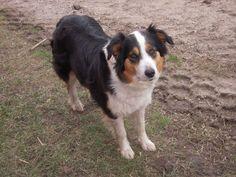 English Shepherd dog photo | ... english shepherd registered through the international english shepherd