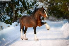 ridiculously gorgeous equines - Vladimir Heavy Draught