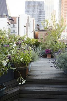 On a Manhattan rooftop, Vanity Fair art director Julie Weiss mixes the purple shades of agastache and lavender (at right) with wild grasses, hydrangeas, and roses